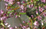 ALTERNATIVA: Bachova cvetna terapija